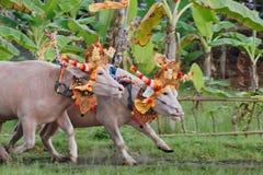 Ταύροι στη δράση στις παραδοσιακές από το Μπαλί φυλές βούβαλων νερού Στοκ Φωτογραφίες