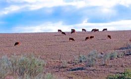 Ταύροι στο Albacete Στοκ Εικόνες