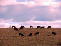 Ταύροι στο Albacete Στοκ φωτογραφία με δικαίωμα ελεύθερης χρήσης