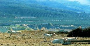 Ταύροι στο Albacete Στοκ φωτογραφίες με δικαίωμα ελεύθερης χρήσης