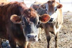 ταύροι του Τζέρσεϋ στοκ φωτογραφία με δικαίωμα ελεύθερης χρήσης
