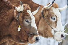 ταύροι Στοκ εικόνα με δικαίωμα ελεύθερης χρήσης