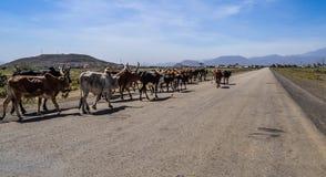 Ταύροι Brahman ή Zebu στο δρόμο σε Gheralta σε Tigray, Αιθιοπία στοκ φωτογραφίες