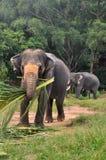 Ταύρος ελεφάντων και ο θηλυκός ελέφαντας Στοκ Εικόνες