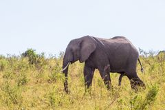 Ταύρος ελεφάντων στους περιπάτους χλόης στη σαβάνα στοκ φωτογραφίες