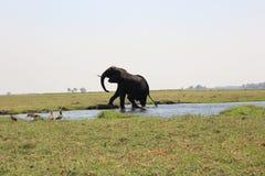 Ταύρος ελεφάντων που περπατά έξω του ποταμού Chobe στοκ εικόνα