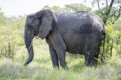 Ταύρος ελεφάντων στοκ φωτογραφία με δικαίωμα ελεύθερης χρήσης