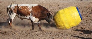 0 ταύρος που κτυπά με τα κέρατα το βαρέλι κλόουν Στοκ Εικόνες
