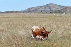 Ταύρος του Τέξας Longhorn στο καταφύγιο άγριας πανίδας βουνών του Wichita στην Οκλαχόμα στοκ φωτογραφία