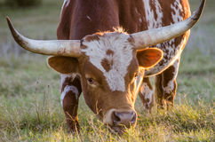 Ταύρος του Τέξας longhorn, Driftwood Τέξας Στοκ Εικόνα