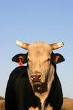 ταύρος Στοκ φωτογραφίες με δικαίωμα ελεύθερης χρήσης