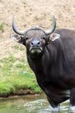 Ταύρος Banteng Στοκ εικόνες με δικαίωμα ελεύθερης χρήσης