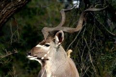 Ταύρος Kudu Στοκ εικόνα με δικαίωμα ελεύθερης χρήσης