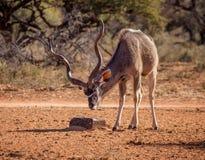 Ταύρος Kudu στοκ φωτογραφίες