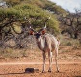 Ταύρος Kudu στοκ φωτογραφία με δικαίωμα ελεύθερης χρήσης