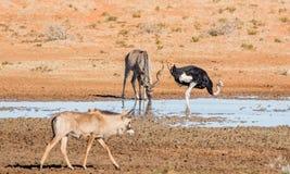 Ταύρος Kudu στοκ φωτογραφίες με δικαίωμα ελεύθερης χρήσης