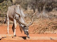 Ταύρος Kudu στοκ εικόνες με δικαίωμα ελεύθερης χρήσης