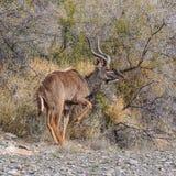 Ταύρος Kudu στοκ φωτογραφία