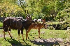 Ταύρος Nyala και θηλυκό angasii Nyala Tragelaphus, ή inyala μέσα Στοκ φωτογραφία με δικαίωμα ελεύθερης χρήσης