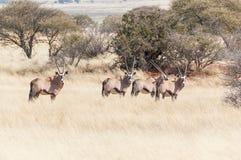 Ταύρος Oryx με το harem του Στοκ Εικόνες
