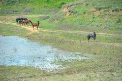 Τα άγρια άλογα έρχονται να πιουν Στοκ Φωτογραφίες