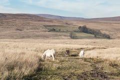 Τα άγρια πόνι σε Brecon οδηγούν το εθνικό πάρκο στην Ουαλία, UK στοκ εικόνα