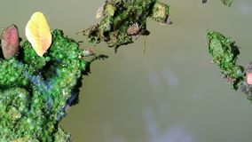 Τα άλγη κάλυψαν τα φύλλα που επιπλέουν στο planktonic νερό