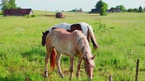 Τα άλογα βόσκουν σε ένα λιβάδι φιλμ μικρού μήκους