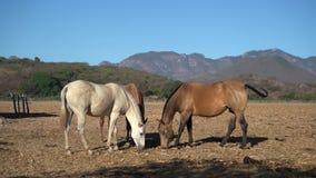 Τα άλογα βόσκουν στον τομέα της μαγικής πόλης Mascota Jalisco απόθεμα βίντεο