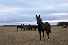 Τα άλογα βόσκουν στον τομέα στοκ εικόνες