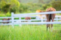 Τα άλογα θαμπάδων στο υπόβαθρο και οι χλόες με το πρωί δροσίζουν στο πρώτο πλάνο, πράσινο λιβάδι για τα άλογα με έναν σταύλο στοκ φωτογραφία