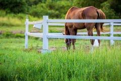 Τα άλογα θαμπάδων στο υπόβαθρο και οι χλόες με το πρωί δροσίζουν στο πρώτο πλάνο, πράσινο λιβάδι για τα άλογα με έναν σταύλο στοκ εικόνες