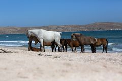 Τα άλογα με foal βόσκουν στην ακτή Μαύρης Θάλασσας Στοκ εικόνες με δικαίωμα ελεύθερης χρήσης