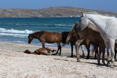Τα άλογα με foal βόσκουν στην ακτή Μαύρης Θάλασσας Στοκ Φωτογραφία