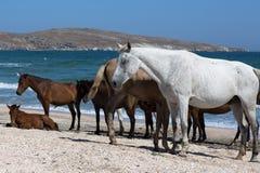 Τα άλογα με foal βόσκουν στην ακτή Μαύρης Θάλασσας Στοκ Εικόνες