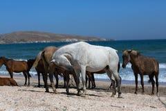 Τα άλογα με foal βόσκουν στην ακτή Μαύρης Θάλασσας Στοκ φωτογραφίες με δικαίωμα ελεύθερης χρήσης