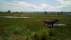 Τα άλογα πίνουν το νερό στοκ εικόνες