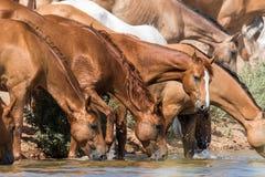 Τα άλογα σε ένα ποτό θέσεων ποτίσματος ποτίζουν και λούζουν κατά τη διάρκεια της ισχυρών θερμότητας και της ξηρασίας στοκ φωτογραφίες με δικαίωμα ελεύθερης χρήσης