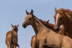 Τα άλογα σε ένα ποτό θέσεων ποτίσματος ποτίζουν και λούζουν κατά τη διάρκεια της ισχυρών θερμότητας και της ξηρασίας στοκ φωτογραφία με δικαίωμα ελεύθερης χρήσης