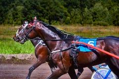 Τα άλογα τρέχουν με υψηλή ταχύτητα κατά μήκος της διαδρομής της πίστας αγώνων Ανταγωνισμοί - ιππόδρομος Στοκ Εικόνες
