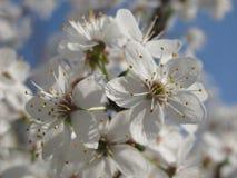 Τα άνθη δαμάσκηνων κερασιών Άνοιξη Στοκ φωτογραφία με δικαίωμα ελεύθερης χρήσης