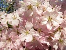 Τα άνθη κερασιών έχουν φθάσει στοκ εικόνα με δικαίωμα ελεύθερης χρήσης