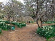 Τα άνθη ναρκίσσων, δαμάσκηνων και κερασιών στο πάρκο Hallim jeju-επάνω Στοκ Φωτογραφία