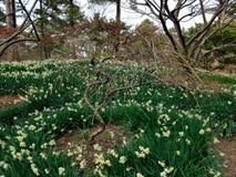 Τα άνθη ναρκίσσων, δαμάσκηνων και κερασιών στο πάρκο Hallim jeju-επάνω Στοκ εικόνα με δικαίωμα ελεύθερης χρήσης