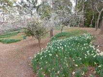 Τα άνθη ναρκίσσων, δαμάσκηνων και κερασιών στο πάρκο Hallim jeju-επάνω Στοκ Εικόνες