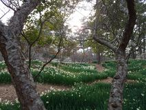 Τα άνθη ναρκίσσων, δαμάσκηνων και κερασιών στο πάρκο Hallim jeju-επάνω Στοκ φωτογραφία με δικαίωμα ελεύθερης χρήσης