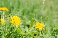 Τα άνθη πικραλίδων άγρια περιοχές λουλουδιών Λουλούδια Στοκ Εικόνες