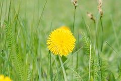 Τα άνθη πικραλίδων άγρια περιοχές λουλουδιών Λουλούδια Στοκ φωτογραφίες με δικαίωμα ελεύθερης χρήσης