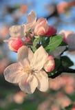 Τα άνθη της Apple μπορούν την άνοιξη να χρησιμοποιήσουν ως υπόβαθρο Στοκ Εικόνες
