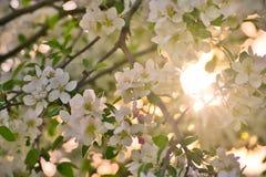 Τα άνθη της Apple στους κλάδους μήλων με πράσινο βγάζουν φύλλα με τον ήλιο και το φως του ήλιου στο υπόβαθρο Στοκ Φωτογραφίες